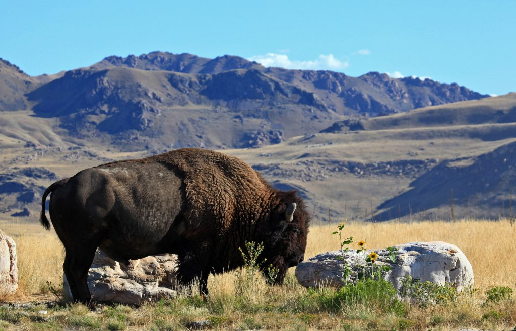 Bison auf Antelope Island. Foto Credit: Steve Greenwood | Utah Office of Tourism